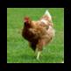 Beautiful chickens 插件