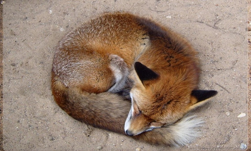 Fox Screen Saver